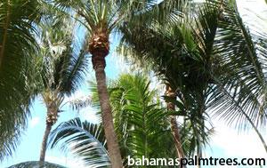 bahamas-palm-tree